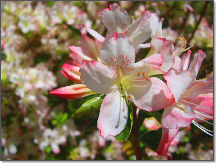 dropshadow-flower-white-pink-azalea